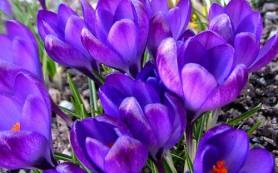 Цветки крокусов – источник веществ с противоопухолевой активностью