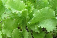 Сок салата – ваш помощник в борьбе с недугами
