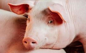 В Великобритании могут разрешить выращивать человеческие органы в телах овец и свиней
