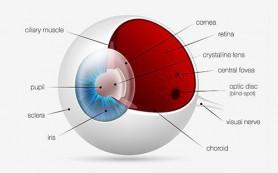 В лаборатории выращен искусственный глаз