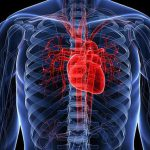 Сердце человека стареет быстрее других органов
