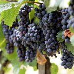 Экстракт виноградных косточек защитит зубы от кариеса
