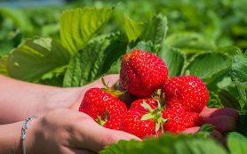 Названы фрукты и овощи, наиболее загрязненные пестицидами