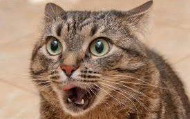 Паразит, которого мы получаем от кошек, может вызывать шизофрению и другие психические болезни