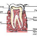 Зубы: строение