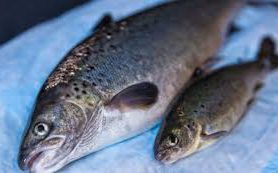 ГМО на столе: Северная Америка станет выращивать генетически модифицированную рыбу