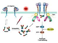 Лихорадка помогает «зарядить» иммунные клетки, выяснили китайские ученые
