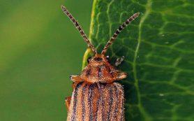 Небольшой жук может облегчить состояние миллионов страдающих от пыльцевой аллергии