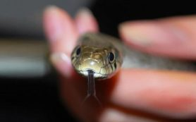 Что делать и что не делать после укуса змеи