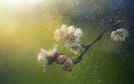 Коронавирус может распространяться с пыльцой растений по воздуху